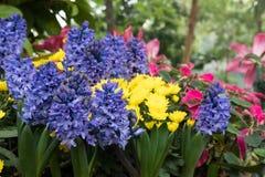 purpurowy hiacynt, żółty chryzantema kwiat w ogródzie Kwitnąć Fotografia Stock