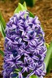 Purpurowy hiacynt Obrazy Stock