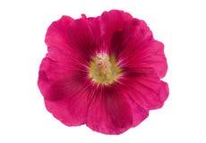 Purpurowy hollyhock kwiatu zbliżenie Fotografia Royalty Free