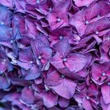 Purpurowy hortensi tło Fotografia Royalty Free