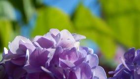 Purpurowy hortensia Zdjęcia Royalty Free