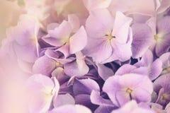 Purpurowy hortensja kwiat z koloru skutkiem Zdjęcia Royalty Free