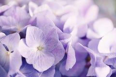 Purpurowy hortensja kwiat z solf światłem Zdjęcia Royalty Free