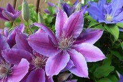 Purpurowy i błękitny Clematis Obraz Stock