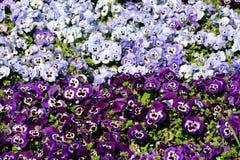 Purpurowy i bławy z centrum Dzikim pansy lub altówka tricolor małymi dzikimi kwiatami z jaskrawymi płatkami gęsto bielu i koloru  obraz stock