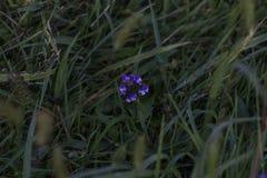 Purpurowy i biały kwiat osamotniony obraz royalty free