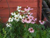 Purpurowy i biały Coneflowers Obrazy Royalty Free