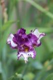 Purpurowy i Biały irys Zdjęcia Stock