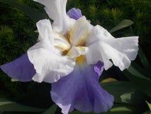 Purpurowy i Biały irys Zdjęcie Stock