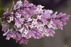Purpurowy i biały Lily kwiat Fotografia Stock