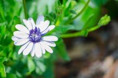 Purpurowy I Biały Osteospermum Kwitnie w wiosna sezonie przy ogródem botanicznym zdjęcie stock