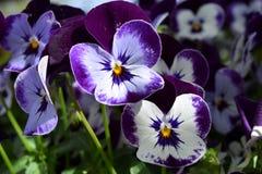 Purpurowy i biały pansy Zdjęcie Stock