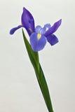 Purpurowy irys fotografia royalty free