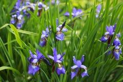 Purpurowy irys w ogródzie Obraz Royalty Free
