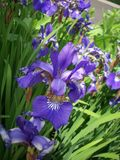 Purpurowy irysowy kwiat Obrazy Royalty Free