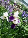 Purpurowy irysowy kwiat Fotografia Royalty Free