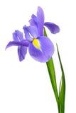 Purpurowy irysowy kwiat Zdjęcia Royalty Free