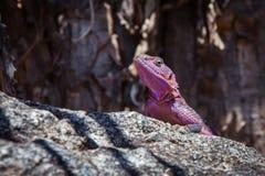 Purpurowy jaszczurki obsiadanie na skale Fotografia Royalty Free