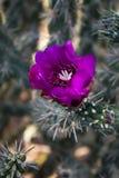 Purpurowy kaktusowy kwiat Fotografia Stock