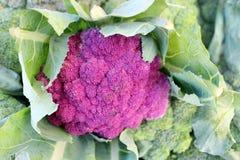 Purpurowy kalafior Zdjęcia Royalty Free