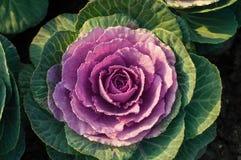 Purpurowy kapuściany kwiat Obraz Royalty Free