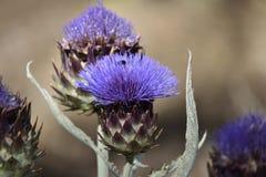 Purpurowy karczocha kwiat z pollen ścigą fotografia royalty free