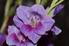 Purpurowy kordzik lelui kwiat Obrazy Royalty Free