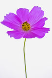 Purpurowy kosmosu bipinnatus Zdjęcia Royalty Free