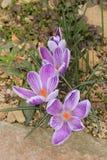 Purpurowy krokus Obraz Royalty Free