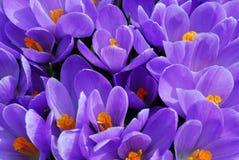 purpurowy krokus Obrazy Royalty Free