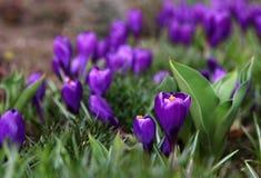 Purpurowy krokus Zdjęcia Stock