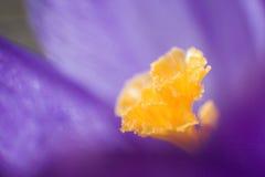 purpurowy krokus Obrazy Stock