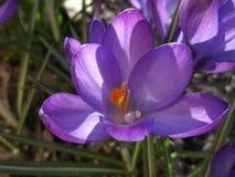 Purpurowy krokus Makro- tryb zdjęcie stock