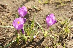 Purpurowy krokus w wiośnie Obrazy Royalty Free