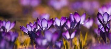Purpurowy krokusa krokus - światło zalewający zdjęcia stock