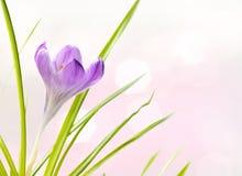 Purpurowy krokusa kwiat z zamazanymi światłami wiosna dnia tło Obraz Stock