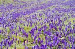 Purpurowy krokusa pole Zdjęcia Stock