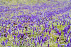 Purpurowy krokusa pole Fotografia Royalty Free