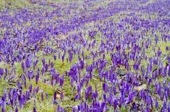 Purpurowy krokusa pole Zdjęcia Royalty Free