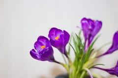 Purpurowy krokusa zakończenie Zdjęcie Stock