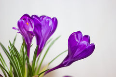 Purpurowy krokusa zakończenie Fotografia Royalty Free