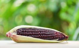 Purpurowy kukurydzany ?wie?y na cob na drewnianego i natury zielonym tle - Siam cukierki lub kr?lowej czerwieni Rubinowa kukurudz zdjęcia stock