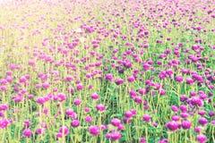 Purpurowy kula ziemska amarantu kwiat lub kawalera guzik (, kula ziemska kwiat Obraz Stock