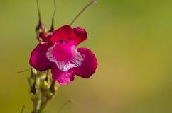 Purpurowy Kwiat Zdjęcie Stock