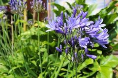 Purpurowy kwiat agapanthus roślina Obraz Royalty Free