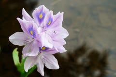Purpurowy kwiat Eichhornia crassipes obraz stock