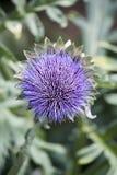 Purpurowy kwiat kula ziemska karczocha roślina w portret orientaci Obraz Stock