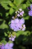 Purpurowy kwiatonośny piękny Ageratum Fotografia Royalty Free