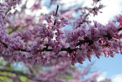 Purpurowy kwiatonośny drzewo Zdjęcia Stock
