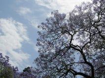 Purpurowy Kwiatonośny drzewo i niebo Obrazy Royalty Free